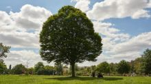 Tree of the week: the hornbeam that inspired one man's lifelong obsession – and his tattoo