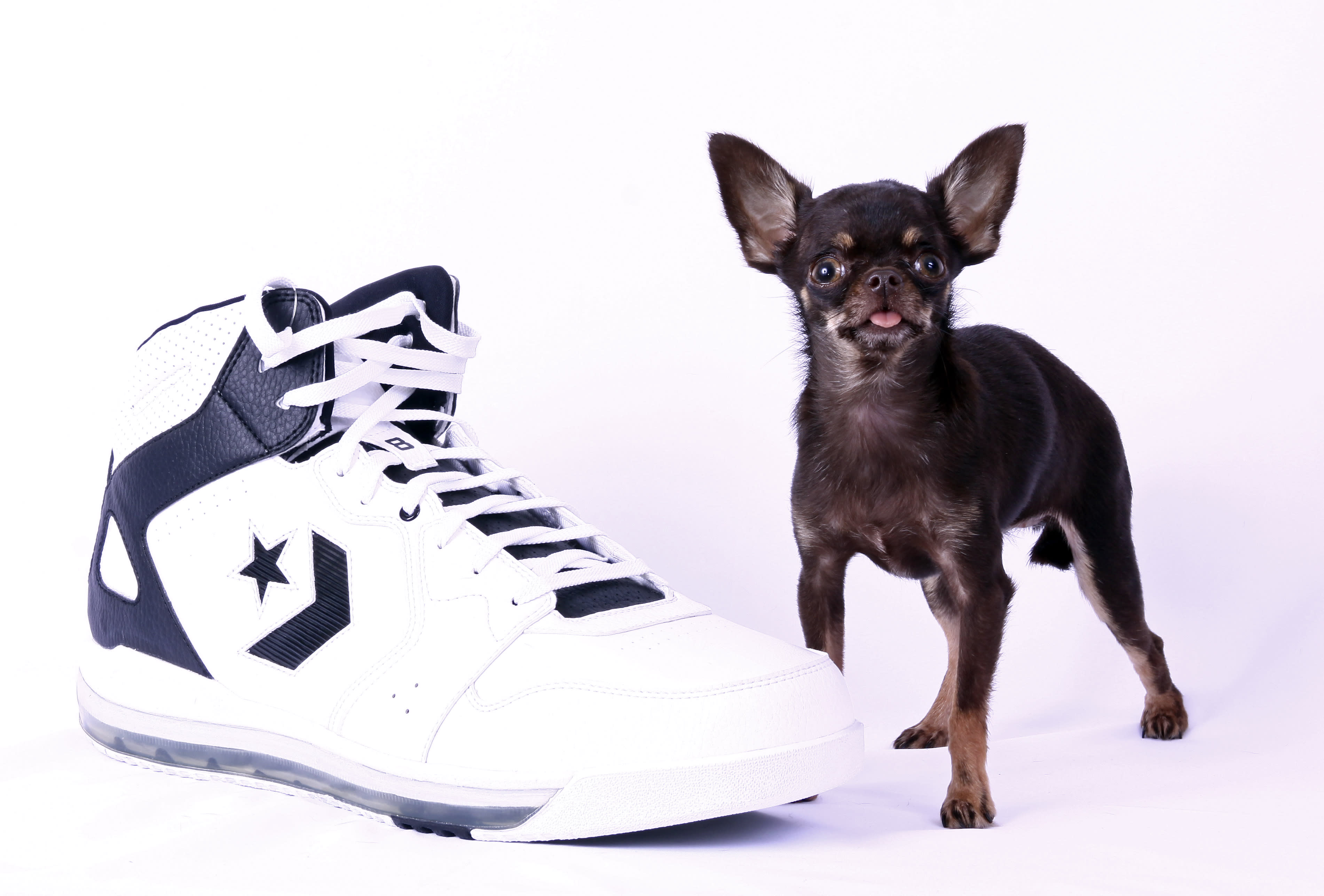 guinness worlds smallest dog is in puerto rico - Smallest Cat In The World Guinness 2013