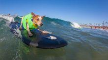 Campeonato de surf canino: confira a competição anual nas ondas da Califórnia