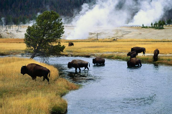 """<a href=""""http://www.nps.gov/yell/index.htm"""" target=""""_blank"""">Yellowstone</a> is the USA's oldest and largest National Park and visiting in June will give you the chance to see some of its amazing wildlife, including grizzly bears, young elk calves and bighorn lambs. Yellowstone is also home to more than half of the world's geothermal geysers that shoot boiling water into the air.<strong>Don't miss: </strong>The most well-known of the geysers, 'Old Faithful' is one of the most predictable geothermal attractions in the area and erupts approximately every 65 minutes.<strong>Try this:</strong> <a href=""""http://worldexpeditions.co.uk/index.php?section=trips&id=1353%3futm_source=mediarelease&utm_medium=email&utm_campaign=MediaReleases"""" target=""""_blank"""">World Expeditions</a>' 15-day Grand Canyon and Rocky Mountain Trails holiday takes in the geysers and boiling mud pots in Yellowstone, the hanging lakes in Aspen, the dramatic Rocky Mountains and includes camping in the Grand Canyon, from £2,190 per person."""