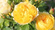 This beautiful yellow rose will be in every garden next year