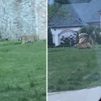 Tiger found roaming west Houston neighborhood