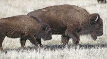 El violento ataque de una bisonte contra una motociclista que se acercó a su becerro en Dakota del Sur