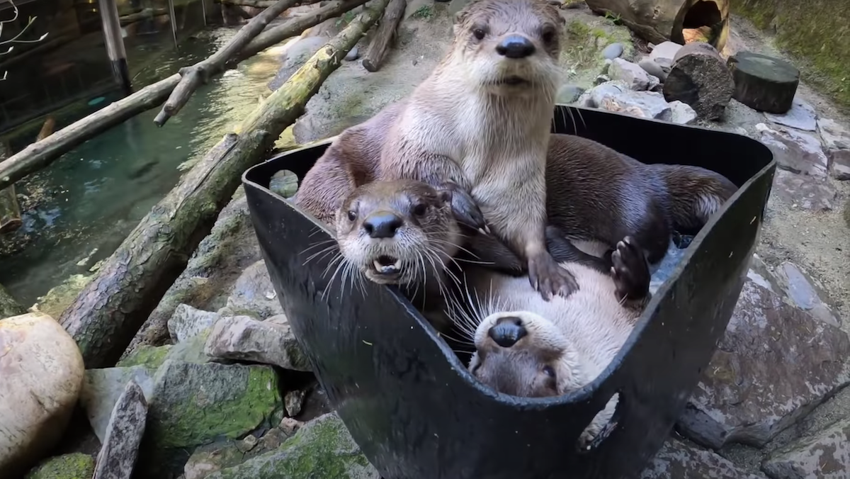 Here's Three Otters Playing in a Bucket of Ice, Just in Case