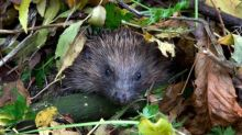 Next – a hedgehog snuffling! The lockdown lifeline capturing the sounds of Britain