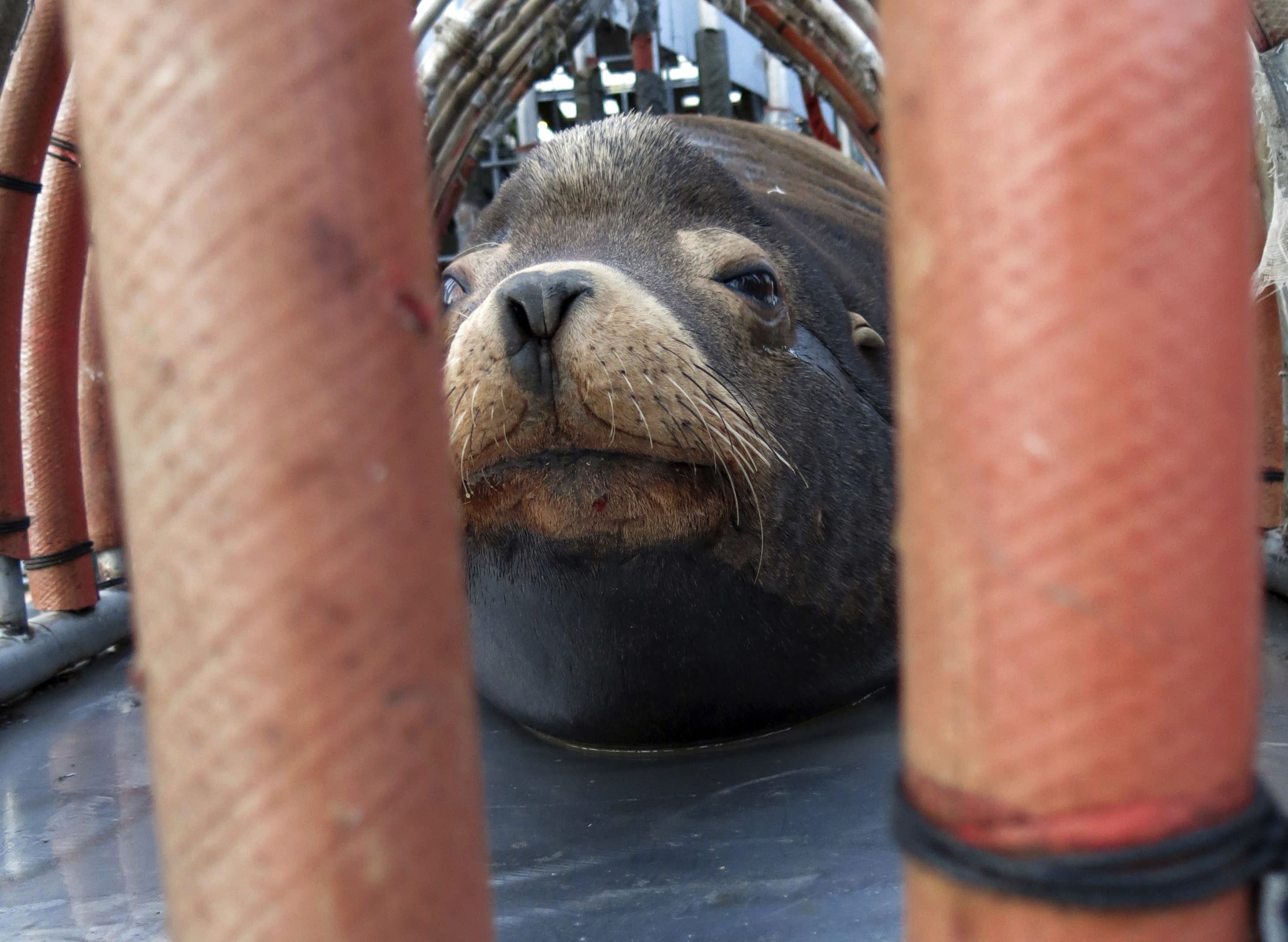 "FILE - In this March 14, 2018, file photo, a California sea lion peers out from a restraint nicknamed ""The Squeeze"" near Oregon City, Ore., as it is prepared for transport by truck to the Pacific Ocean about 130 miles away. The male sea lion was released south of Newport, Ore., in a program designed to reduce the threat to wild winter steelhead and spring chinook salmon in the Willamette River. Oregon wildlife officials have started killing sea lions that threaten a fragile run of winter steelhead in the Willamette River. The state Department of Fish and Wildlife obtained a federal permit in November to kill up to 93 California sea lions per year below Willamette Falls south of Portland, Oregon Public Broadcasting reported Wednesday, Jan. 9, 2019. (AP Photo/Gillian Flaccus, File)"
