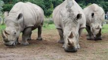White rhinos: Scientists reveal last-ditch attempt to save endangered species with world-first IVF treatment