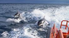 Mysteriöse «Killerwal»-Attacken vor Spaniens Küsten