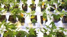 Aurora Cannabis shares rise on reported talks with Coca-Cola