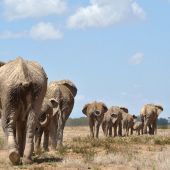 African elephants 'suffer worst decline in 25 years'