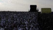 Plantio de algodão 2020/21 deve recuar 8,3% no Brasil, estima Safras & Mercado