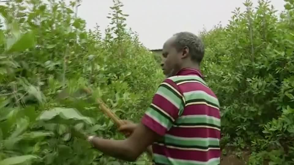 Why Ethiopian farmers choose Khat over coffee