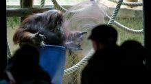 Orangotango 'pintora' faz 50 anos no zoológico de Paris
