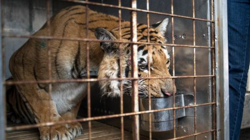 Laziz: Gaza's last tiger finds new home in South Africa