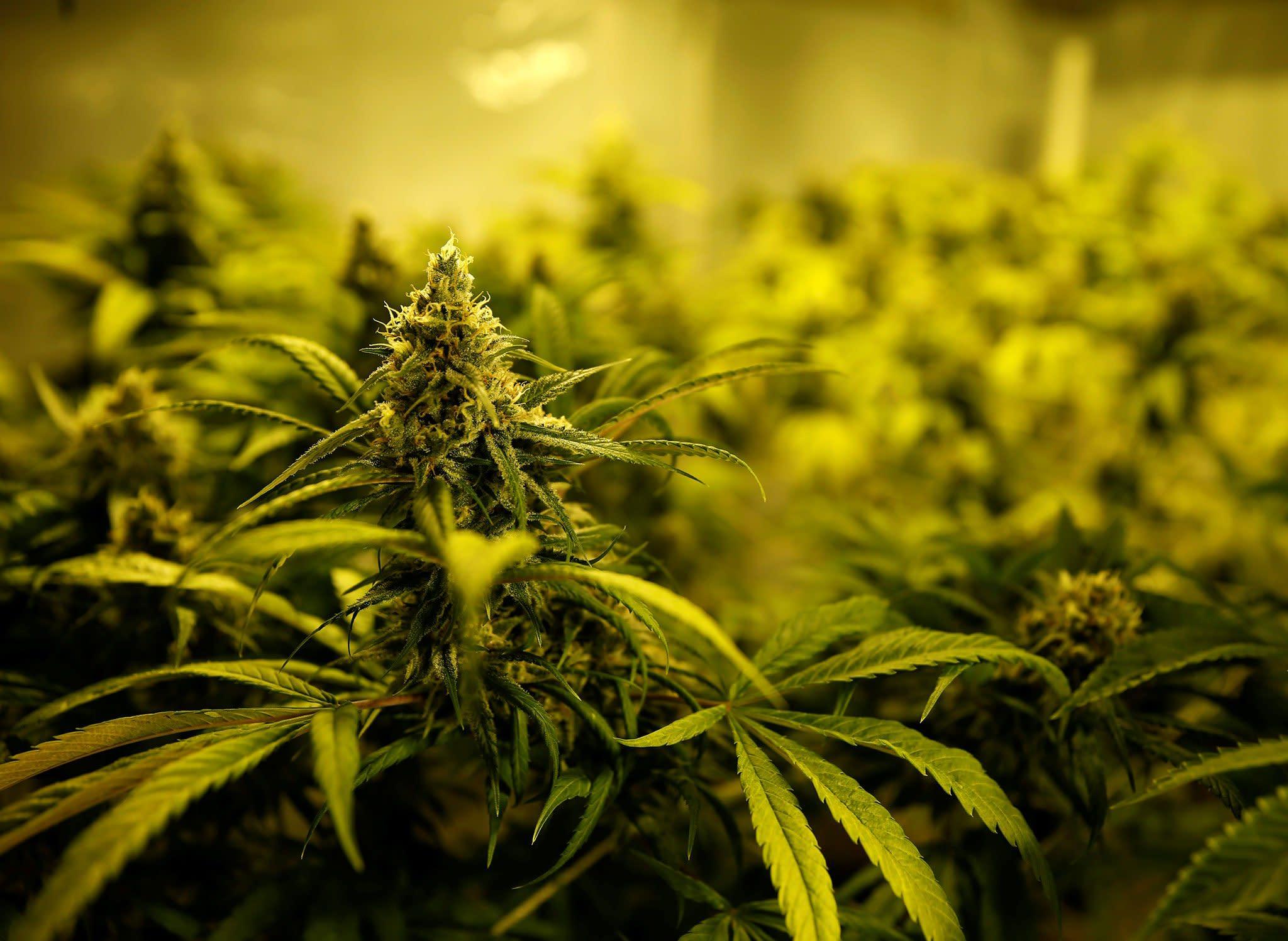 Конопля ира марихуана сроки выведения