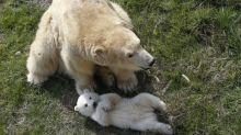 """Polémique sur les ours polaires au Marineland d'Antibes : """"Ces animaux n'ont rien à faire dans ces endroits"""""""