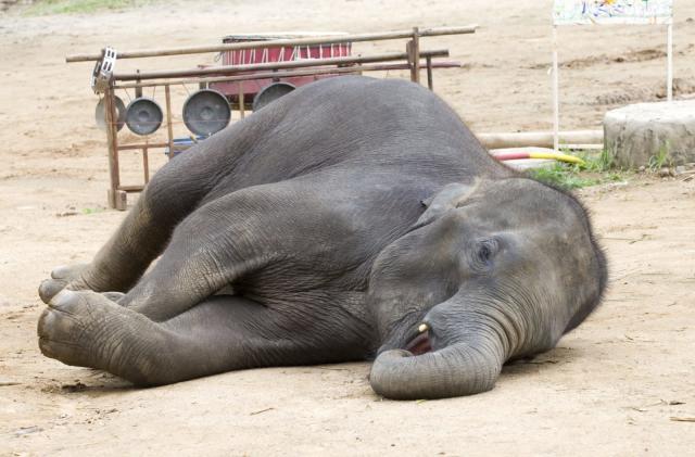 Smartwatch implants help track elephant sleep patterns
