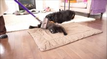 Dog And Cat Absolutely Love Getting Vacuumed