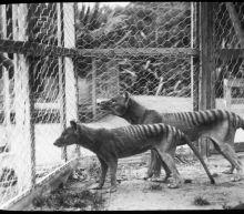 Tasmanian tiger doomed long before humans came along