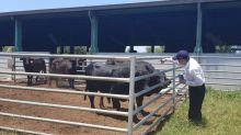 防止金門牛結節疹疫情擴散 農委會將緊急採購1萬支疫苗
