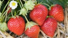 How to grow strawberries for next year