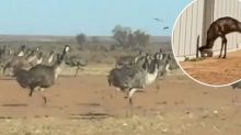 Thirsty emus flock to outback mining town as drought deepens