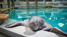 Snooty, Oldest Manatee in Captivity, Dies at Age 69