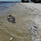Red Tide Is Killing Marine Life and Scaring Away Tourists in Florida. Here's What to Know About It