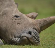S. Africa opposes online rhino horn auction
