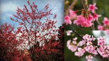 春季限定美景! 盤點香港最佳賞櫻聖地