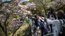 Cherry blossoms in Japan projected to bloom earlier than usual in 2019