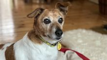 Tonks the Jack Russell, dubbed the 'oldest dog in care', has finally found his forever home