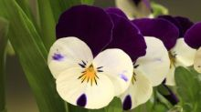 How to grow violas for a late display of colour