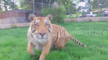 Dramatic video shows tiger attacking flying drone