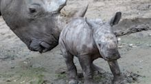 Rare baby white rhino makes debut at Zurich Zoo
