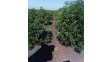 Cannabis Science and Free Spirit Organics Native American Corporation (FSO NAC) Begin Harvesting Approximately 60 Acres of its 250-Acre Industrial Hemp Project on San Joaquin Sovereign Tribal Fee Land MBS, California