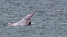 Los delfines rosas reaparecen tras años amenazados