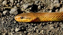 Poisonous Snake Found in Flyer's Bag at Cochin Airport