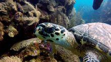 Divers swim alongside critically endangered animal