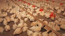 3 - Preço do frango deve cair de 10% a 12% no supermercado
