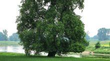 Markanter Hingucker: Flatter-Ulme ist Baum des Jahres 2019