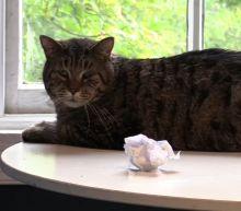 Twenty-six pound cat named Mr. B takes the internet by storm