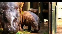 Rare Pygmy Hippo Born In Chile