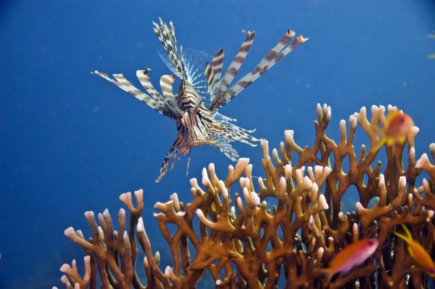 Spear-toting robot can guard coral reefs against invasive lionfish