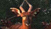 Bongo Antelopes Make Comeback