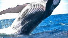 Pollution: Une baleine meurt aux Philippines avec 40 kilos de plastique dans l'estomac
