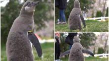 【新片速報】日本企鵝仔第一次見「櫻吹雪」 睇到呆咗Twitter熱傳