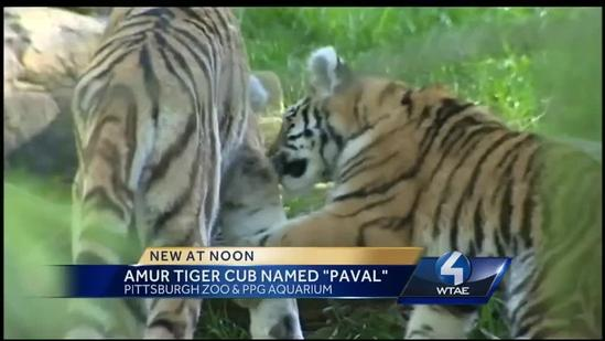 Pittsburgh's baby tiger gets a name
