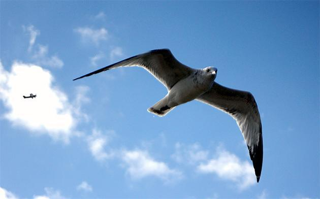 Researchers take a hint from birds to fight airplane turbulence