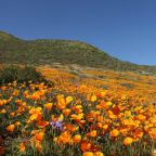 'Unbearable': California Town Closes Access to Super Bloom Due to Massive Crowds